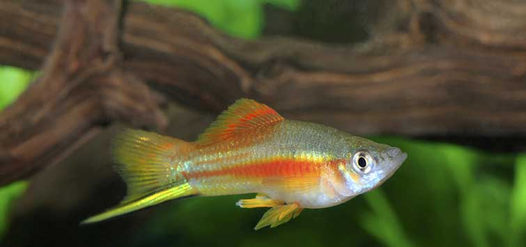 Fancy Livebearers | Tropical Fish Hobbyist Magazine