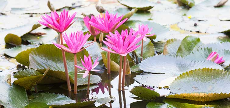 Lotus Care in the Koi Pond | Tropical Fish Hobbyist Magazine