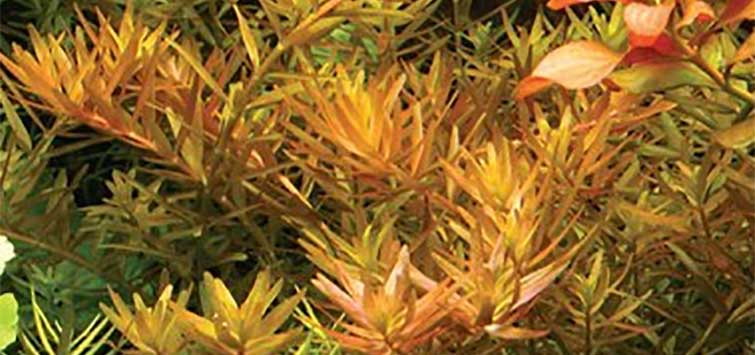 Dwarf Rotala Species | Tropical Fish Hobbyist Magazine