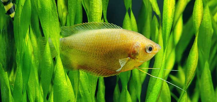 Vallisneria Care Tropical Fish Hobbyist Magazine The crew of untamed science particularly like the rainforests of central and south america, but we have. vallisneria care tropical fish