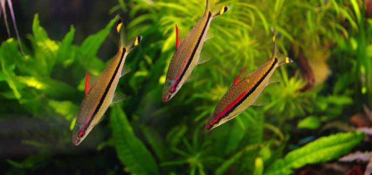 Barbs for Large Aquariums | Tropical Fish Hobbyist Magazine