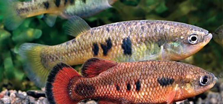 Characodon audax in Mexico | Tropical Fish Hobbyist Magazine