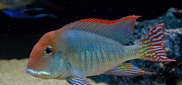 A Survey of Eartheaters | Tropical Fish Hobbyist Magazine