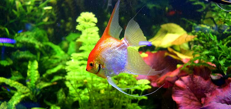 Angelfish Care | Tropical Fish Hobbyist Magazine