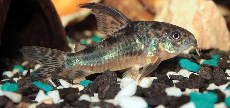 Catfish Species of the Uruguayan Outback | Tropical Fish Hobbyist Magazine