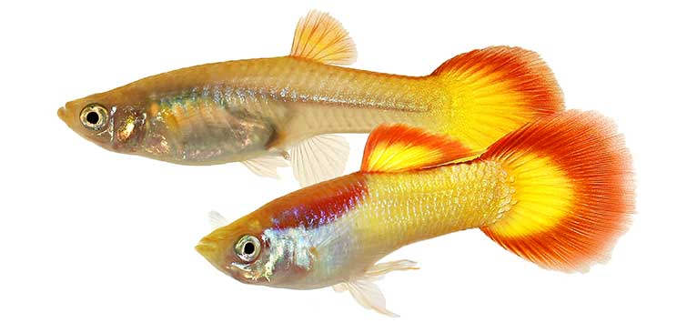 sexing fish