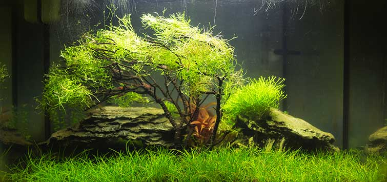 Gardening for the Nano Aquascape | Tropical Fish Hobbyist Magazine
