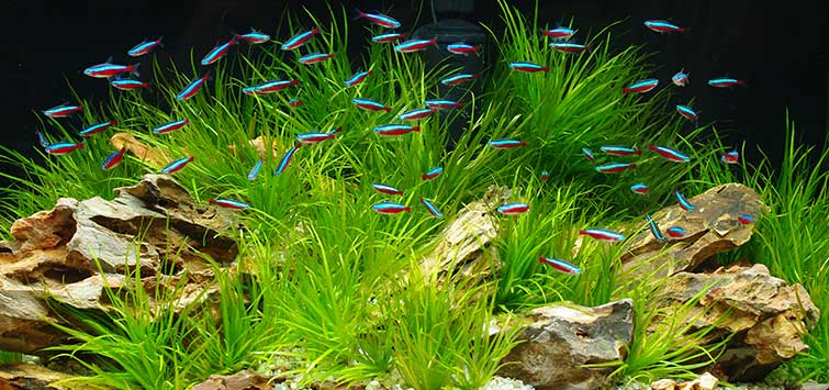 Tips for Single-Species Aquariums | Tropical Fish Hobbyist Magazine