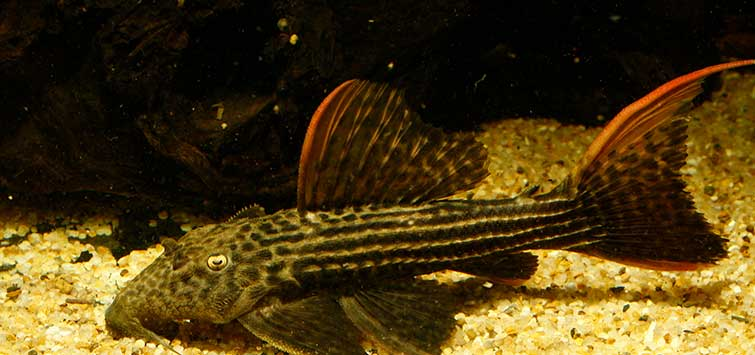 breeding plecos