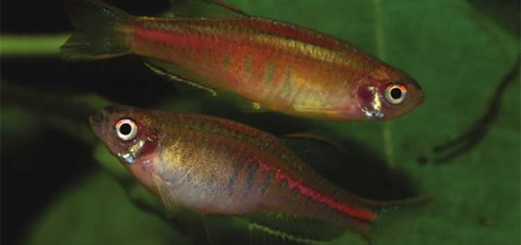 Breeding Danio choprai | Tropical Fish Hobbyist Magazine