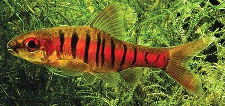 Breeding the Angolan Barb | Tropical Fish Hobbyist Magazine