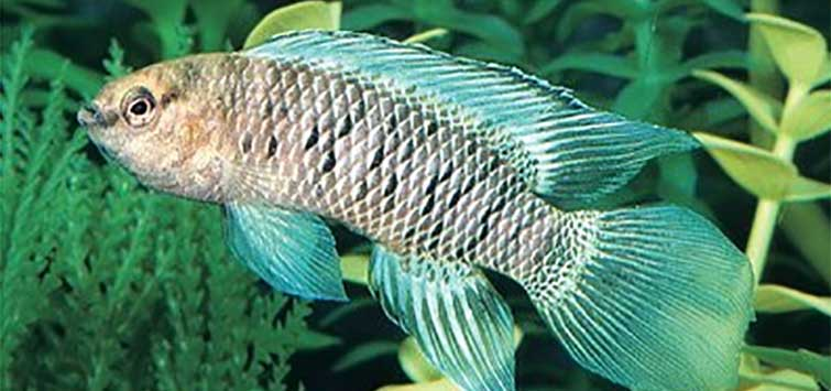 Breeding the Blue Dwarf | Tropical Fish Hobbyist Magazine