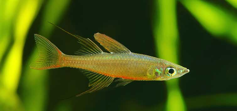 Breeding Iriatherina werneri | Tropical Fish Hobbyist Magazine