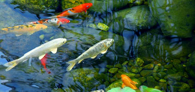 Building a Koi Pond | Tropical Fish Hobbyist Magazine