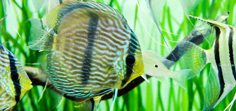 How Many Discus Species Are There? | Tropical Fish Hobbyist Magazine