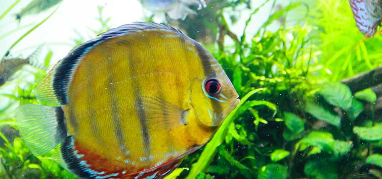 Blue Discus: Son of Tarzoo | Tropical Fish Hobbyist Magazine