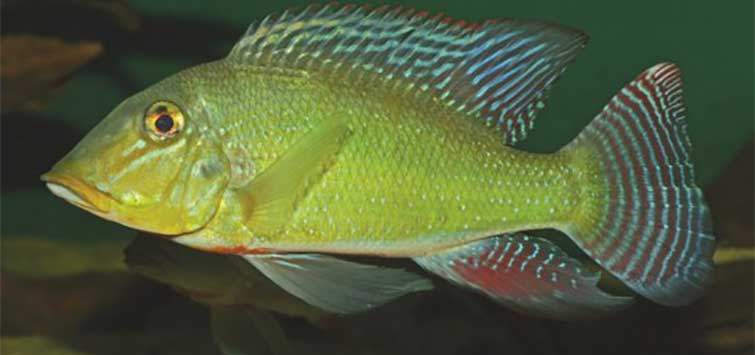 Smitten by the Retroculus Bug | Tropical Fish Hobbyist Magazine