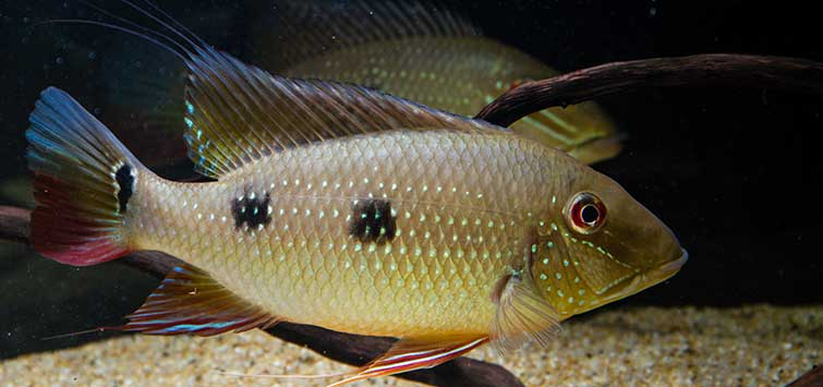 Spawning in the Cichlid Aquarium | Tropical Fish Hobbyist Magazine