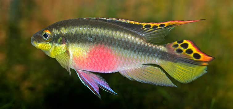 Collecting Pelvicachromis Species | TFH Magazine