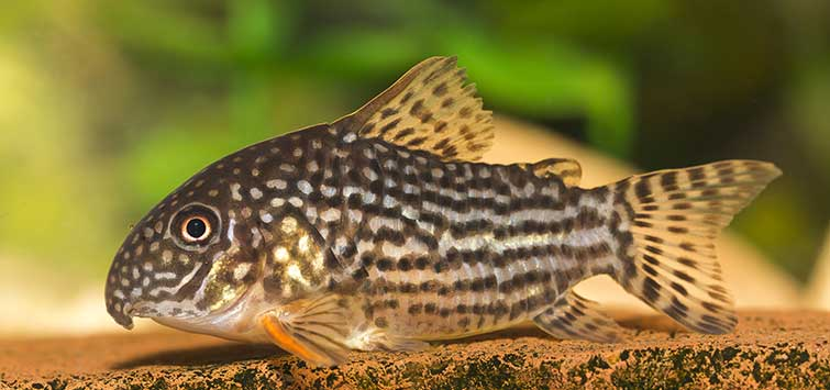 Corydoras sterbai Species | Tropical Fish Hobbyist Magazine