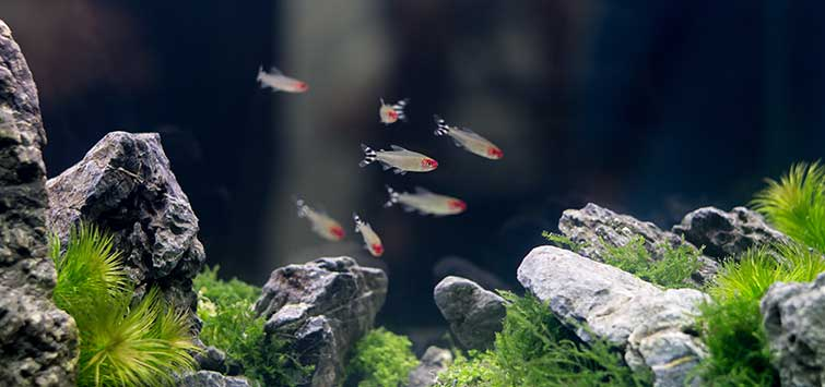 Iwagumi Layout in the Nature Aquarium | Tropical Fish Hobbyist Magazine