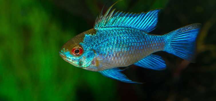 The Electric Blue Ram | Tropical Fish Hobbyist Magazine