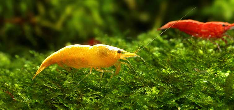 Fantastic Freshwater Inverts | Tropical Fish Hobbyist Magazine