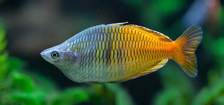 Rainbowfish and Silversides | Tropical Fish Hobbyist Magazine