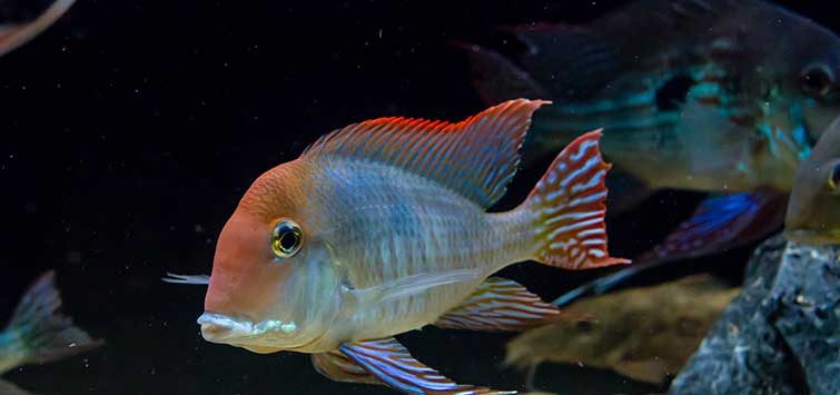 The Red Cap Fish | Tropical Fish Hobbyist Magazine