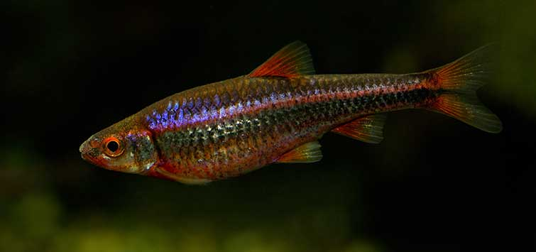 American Fish Species Worth Owning | Tropical Fish Hobbyist Magazine