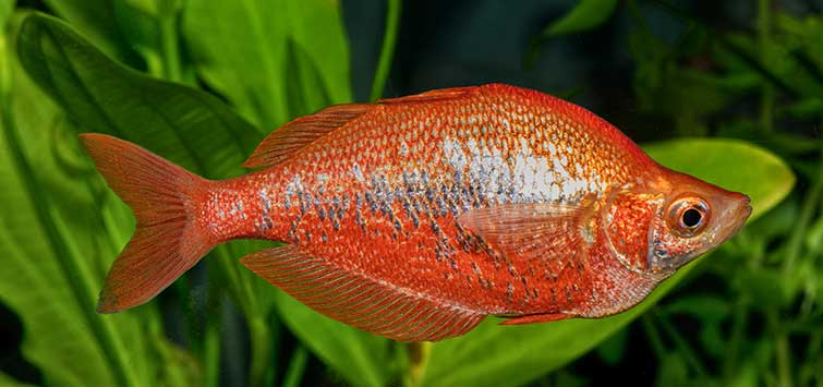 Red Rainbowfish (Glossolepis incisus) Species | TFH Magazine