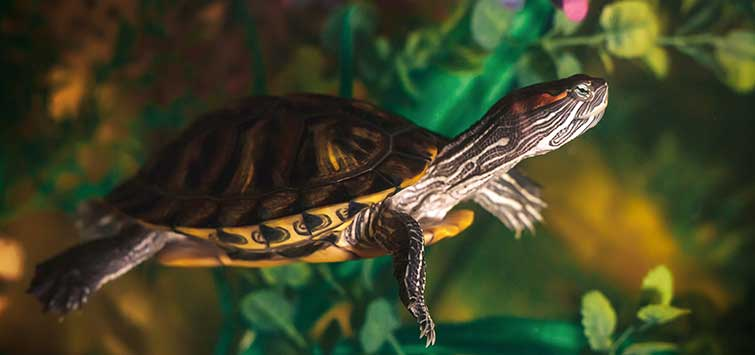 how to keep a pet turtle