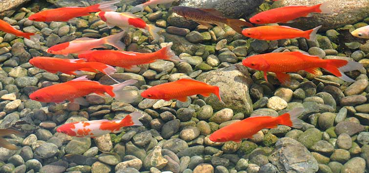 best fish for outdoor pond