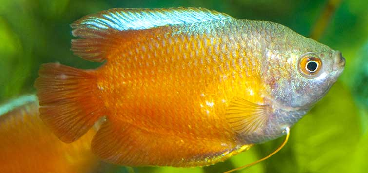 Dwarf Gourami Community Tank Care | Tropical Fish Hobbyist Magazine
