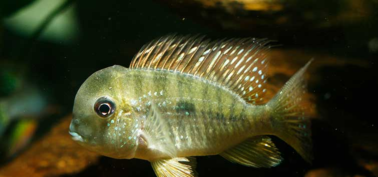 eartheater cichlid species