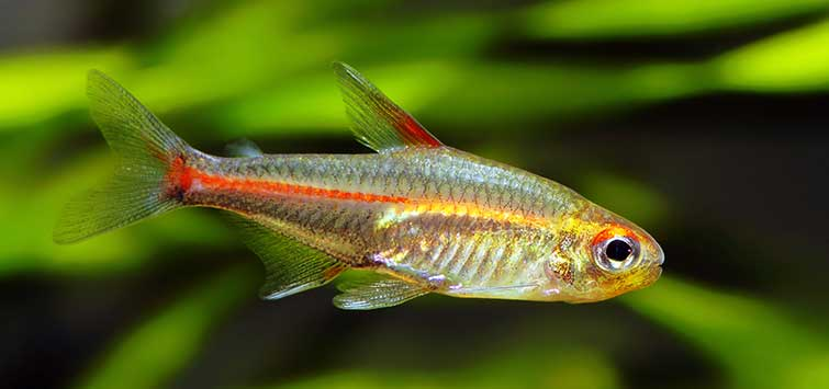 Glowlight Tetra (Hemigrammus erythrozonus) Species | TFH Magazine