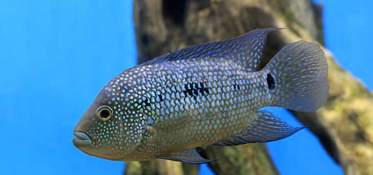 Texas Cichlid (Herichthys cyanoguttatus) Species | Tropical Fish Hobbyist Magazine