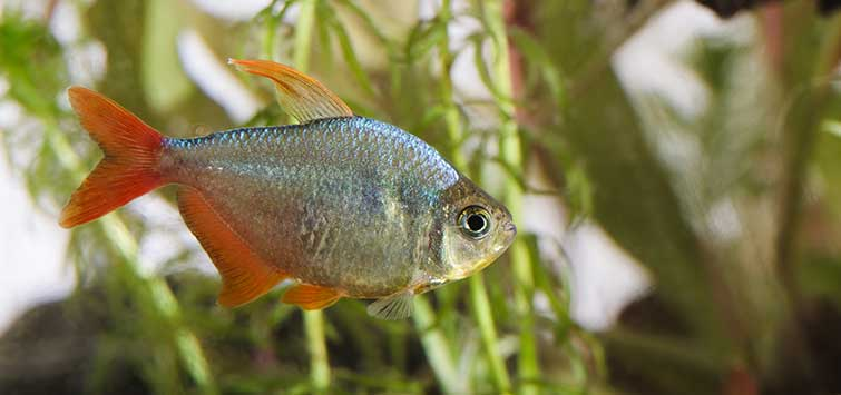 Columbian Tetra Species | Tropical Fish Hobbyist Magazine