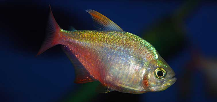 Hyphessobrycon columbianus: A Tetra of a Different Color | TFH Magazine