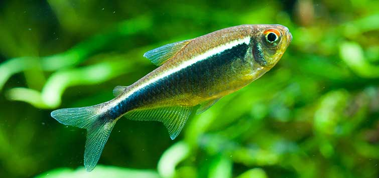 Hyphessobrycon herbertaxelrodi Species | Tropical Fish Hobbyist Magazine