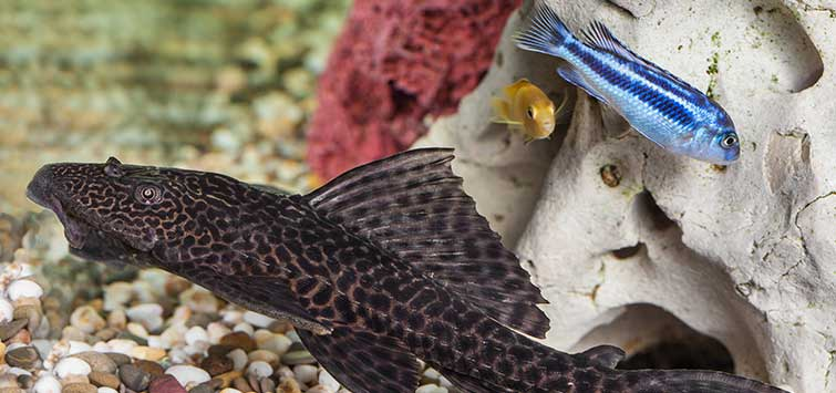 Common Pleco (Hypostomus plecostomus) Species | TFH Magazine