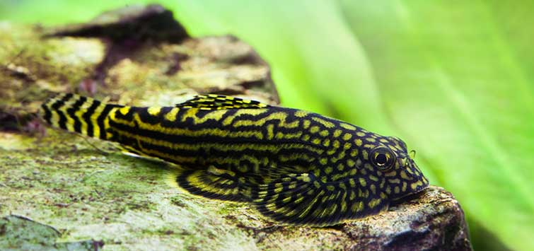 In Search of the Borneo Sucker | Tropical Fish Hobbyist Magazine