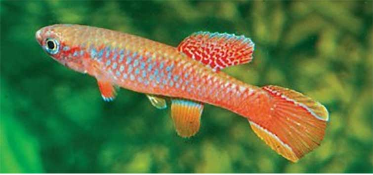 Killifish Aquarium: The Aphyosemion georgiae Group | TFH Magazine