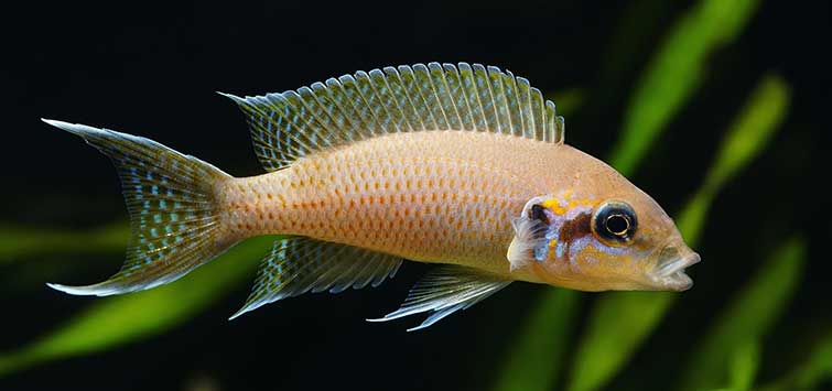 Fairy Cichlid Breeding and Care | Tropical Fish Hobbyist Magazine