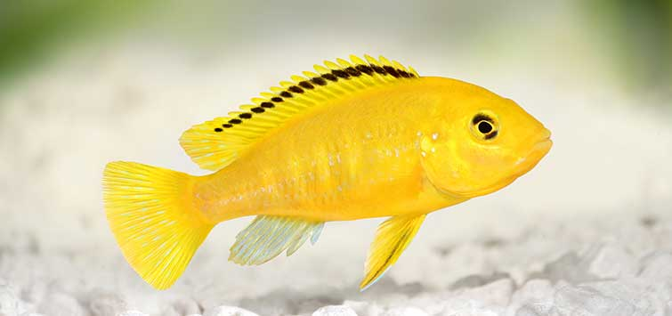 Electric Yellow Cichlid Species | TFH Magazine