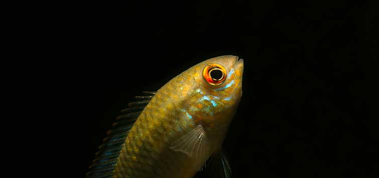 Smiling Acara (Laetacara curviceps) Species | TFH Magazine