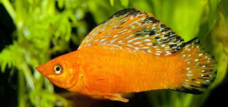 The Coolest Freshwater Fish You've Never Seen | Tropical Fish Hobbyist Magazine