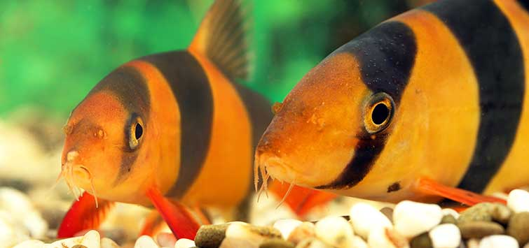 Loaches of the Orient: Botia striata and More | Tropical Fish Hobbyist Magazine