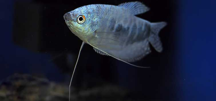 Moonlight Gourami Care | Tropical Fish Hobbyist Magazine