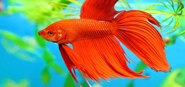 Spectacular Betta Fish Types | Tropical Fish Hobbyist Magazine